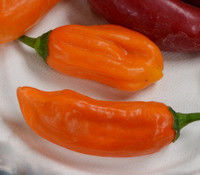 Jalapeno Pepper, Orange
