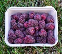 Rubus x loganobaccus - Loganberry