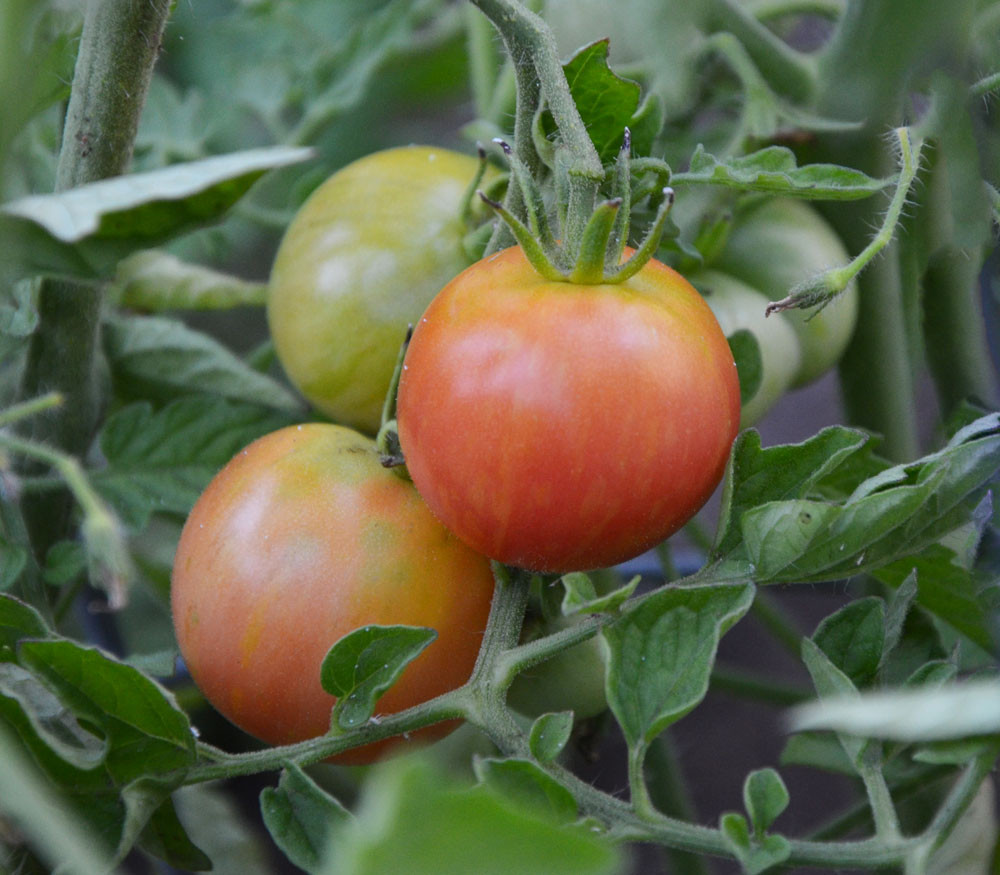 Tomato pink elephant: description of the variety, photo, characteristics, cultivation 65