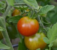 Cherry Tomato, Brandywine