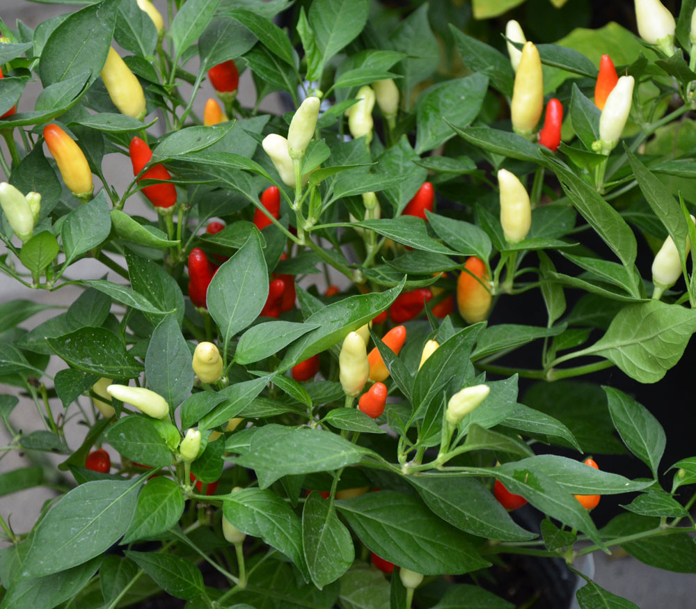 Centennial Rainbow Pepper Seeds