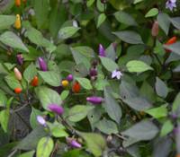 Vietnamese Multi-Color Pepper