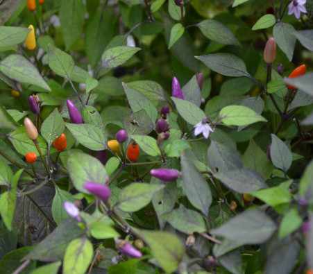 Vietnamese Multi Color Pepper Seeds
