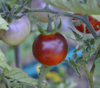 Blue Pitts Tomato