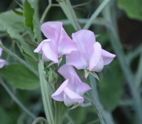 Lathyrus sativus - Sweet Pea, Old Spice Janet Scott