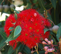 Corymbia ficifolia - Red Flowering Gum