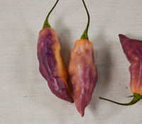 Bhut Jolokia Pepper, Purple