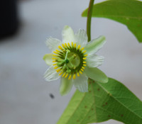 Passiflora biflora - Two Flowered Passion Flower