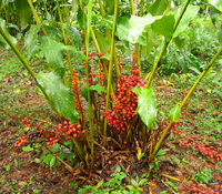Renealmia alpinia - Garden Ginger