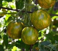 Green Zebra Cherry Tomato