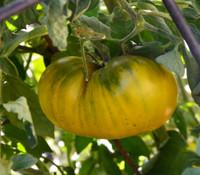 Humph Tomato