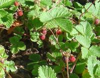 Fragaria vesca - Woodland Strawberry