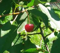 Prunus cerasus - Sour Cherry