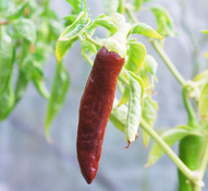 Berbere Pepper