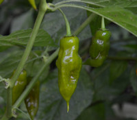 Green Scorpion Pepper
