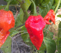 Ecuadorian Devil's Breath Pepper