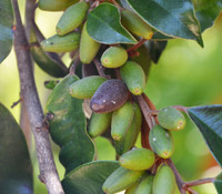 Chrysophyllum oliviforme - Satin Leaf Tree