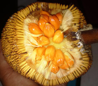 Artocarpus anisophyllus - Entawak