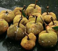 Parartocarpus venenosa - Utu