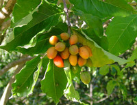 Bunchosia sp. - Peanut Butter Fruit