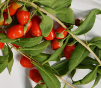 Lycium chinense - Shanghai Express Goji Berry