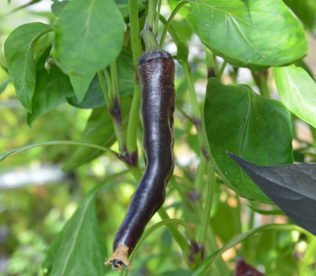 10 seeds Black Pearl black pepper very rare Chili extreme