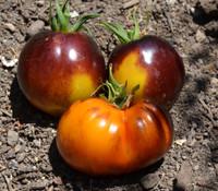 Blue Gold Tomato