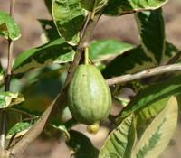 Psidium guajava - Variegated Guava