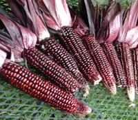 Double Red Corn