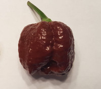Trinidad Scorpion Chocolate Brain Strain Pepper