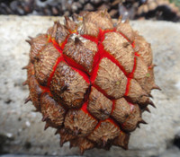 Duguetia spixiana - Duguetia