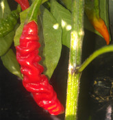 Murupi Giant Pepper