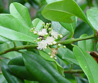 Pimenta racemosa - Bay Rum