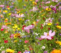 multiple species - Wildflower Mix - Western