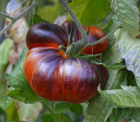 Red Beauty Tomato