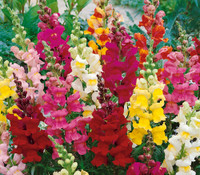Antirrhinum majus - Snapdragon Old Fashioned Mix
