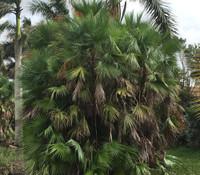 Acoelorrhaphe wrightii - Everglades Palm