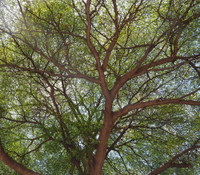 Terminalia ivorensis - Ivory Coast Almond