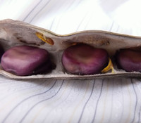 Fava Bean, Early Violet