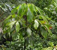Herrania mariae - Mountain Cocoa
