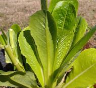 Komatsuna, Japanese Mustard Spinach
