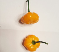Aji Brazilian Starfish Yellow Pepper