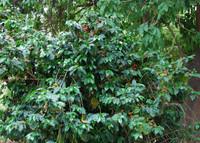 Coffea arabica - Coffee (pre-germinated)