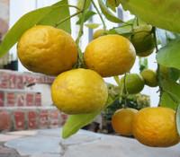 Citrus amblycapra - Nasnaran Mandarin