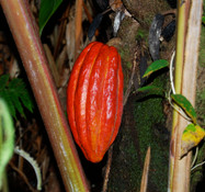 Theobroma cacao - Cacao, Red fruited (Pre-germinated)