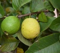 Psidium guajava - Waiakea Guava