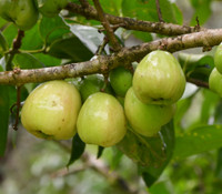 Syzygium malaccense - White Mountain Apple
