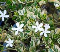 Carissa macrocarpa - Variegated Natal Plum