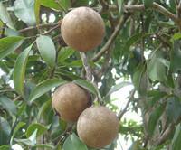 Manilkara zapota - Sapodilla (pre-germinated)