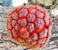 Duguetia phaseoloides - Cherry Sugar Apple